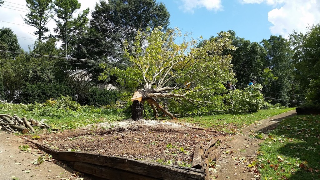 Tree felled - exactly where we planned